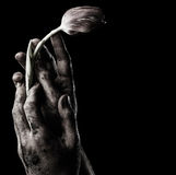 Tulip in dirty male hand Stock Images