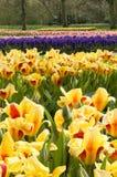 Tulip display Stock Photography
