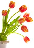 Tulip Display. Isolated on a white background Royalty Free Stock Photo