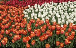 Tulip display at Keukenhof, Netherlands Royalty Free Stock Photos