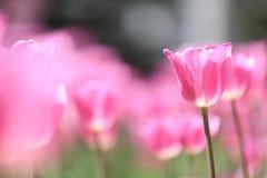 Tulip doce imagens de stock