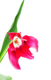 Tulip Dolls Minuet Stock Image