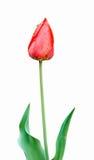 Tulip With Drops del agua Fotografía de archivo