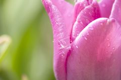 Tulip with drops of water on it Royalty Free Stock Photos