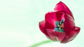 Tulip Eight Royalty Free Stock Images