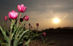 Tulip em próximo de sol Fotos de Stock