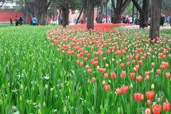 Tulip Stock Image