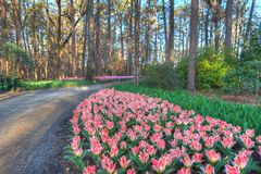 Exotic Tulips. Tulip Extravaganza in early Spring. An Explosion of color Stock Photo