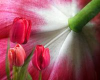 Tulip Fantasy Stock Photo