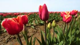 Tulip Farm Stockbild