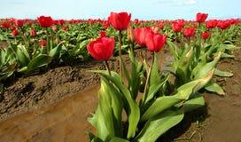 Tulip Farm Stockfotografie