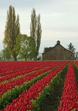 Tulip Farm Royalty Free Stock Photos