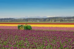Free Tulip Farm Royalty Free Stock Image - 2245176