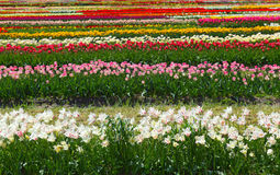 Tulip Farm Royalty Free Stock Photo