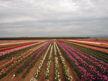Tulip farm Royalty Free Stock Image