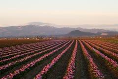 Tulip farm. Sunset with tulip fields in Skagit, Washington Royalty Free Stock Photo