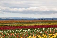 Tulip Farm Fotografía de archivo libre de regalías