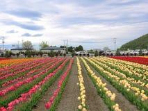 Tulip Farm Imagen de archivo libre de regalías