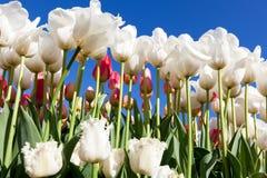 Tulip Farm Lizenzfreie Stockbilder