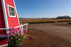 Tulip Farm Lizenzfreies Stockbild