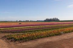 Tulip Farm Lizenzfreie Stockfotos