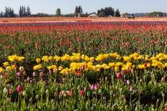 Tulip Farm Lizenzfreies Stockfoto