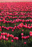 Tulip farm background Royalty Free Stock Photo