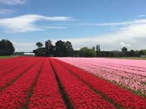Tulip farm. Beds of red and pink tulips in sunny farm field Stock Image