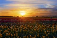 Tulip Farm bei Sonnenuntergang Lizenzfreie Stockbilder
