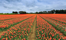 Tulip farm in Edendale, New Zealand Royalty Free Stock Photos