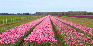 Tulip farm in Edendale, New Zealand Royalty Free Stock Photography