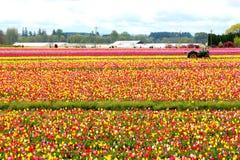 Tulip Farm en Woodburn Oregon Fotografía de archivo
