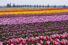 Tulip Farm Royalty Free Stock Images