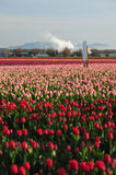 Tulip farm Stock Photo