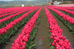 Tulip farm Stock Image