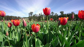 Tulip farm. 4k video of close-up of red tulips in a farm stock video footage