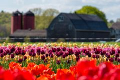 Tulip Farm Landscape Stock Photo