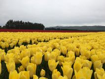 Tulip farm. A large field of yellow tulips in full flower extending almost to the horizon, trees and mountain background Royalty Free Stock Photo