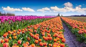Tulip farm near the Creil town Royalty Free Stock Photography
