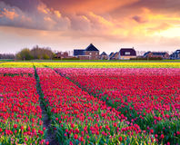 Tulip farm near the Creil town Stock Photo
