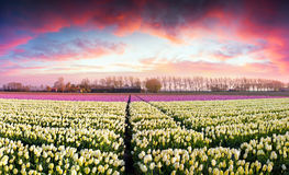 Tulip farm near the Creil town. Stock Photos