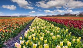 Tulip farm near the Rutten town Stock Images