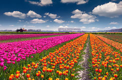 Tulip farm near the Rutten town. Royalty Free Stock Images