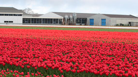 Tulip Farm in Netherlands Royalty Free Stock Images