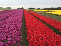 Tulip farm in New Zealand. Beds of colorful tulips in farm of New Zealand Royalty Free Stock Images