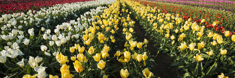 Tulip farm in Oregon Royalty Free Stock Images