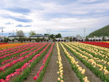 Tulip Farm. A tulip farm with red, yellow, pink, orange tulip in a sunny day. The farm has many rows of tulip Royalty Free Stock Image