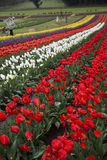 Tulip farm Royalty Free Stock Photography