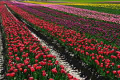 Tulip farm in spring royalty free stock images
