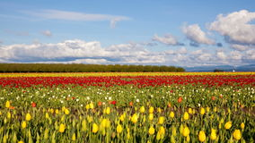 Tulip Farm Spring in Woodburn Oregon Time Lapse. Moving White Clouds and Blue Sky in Wooden Shoe Tulip Farm Early Spring Season in Woodburn Oregon Time Lapse stock video